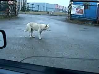 Собака пляшет::категория Юмор :: смотрите онлайн видео канала Andreyka163 :: Andreyka163.